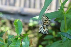 美好的蝴蝶outoodrs在热带巴厘岛,印度尼西亚公园  异乎寻常的蝴蝶 库存图片