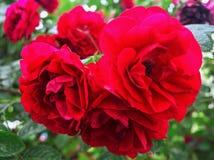 美好的bokeh庭院光自然照片玫瑰 免版税库存图片