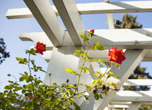 美好的bokeh庭院光自然照片玫瑰 库存照片