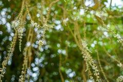 美好的defocused自然绿色叶子、花分支和白光bokeh背景抽象场面  图库摄影