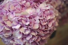 美好的Hydiangea带淡红色的紫色 库存图片