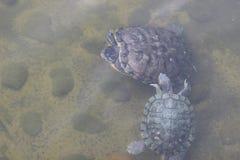 美好的koi鱼游泳在池塘 免版税库存图片