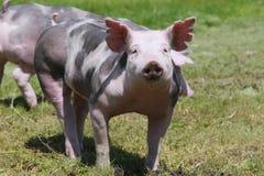 美好的litle猪头射击了在动物农场的特写镜头 库存图片