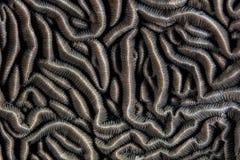 美好的Pachysaris珊瑚细节 图库摄影