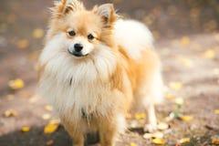 美好的pomeranian波美丝毛狗橘黄色 在乡下公路的好的友好的狗宠物在秋天季节的公园 免版税库存图片