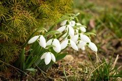 美好的snowdrops增长与草首先反弹花 免版税库存照片