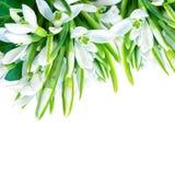 美好的snowdrops开花在白方块背景隔绝的开花 分行明亮的开花的绿色本质春天结构树 8个看板卡eps文件招呼的包括的模板 被定调子的软性 库存照片