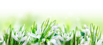 美好的snowdrops开花在白色全景背景隔绝的开花 分行明亮的开花的绿色本质春天结构树 8个看板卡eps文件招呼的包括的模板 被定调子的软性 免版税库存图片