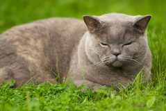 美好英国猫休眠 免版税库存照片
