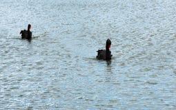 美好黑天鹅游泳愉快在湖 免版税库存照片