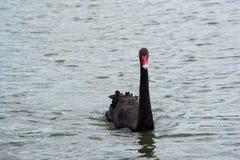 美好黑天鹅游泳愉快在湖 库存图片
