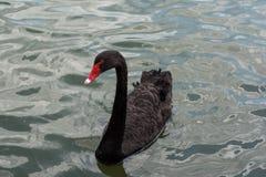 美好黑天鹅游泳愉快在湖 库存照片