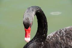 美好黑天鹅游泳愉快在湖 免版税库存图片
