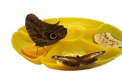 美好蝴蝶哺养 库存照片