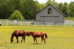 美妙地吃草在一个开放领域的健康马 免版税库存图片