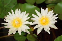 美妙地开花两朵白莲教的花 免版税库存照片