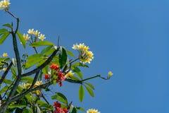 美妙地开花在巴厘岛的赤素馨花和九重葛 免版税库存图片
