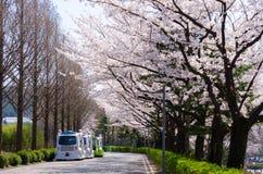 美妙地开花的樱桃在韩国 免版税库存图片