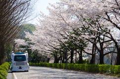 美妙地开花的樱桃在韩国 免版税图库摄影