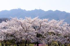 美妙地开花的樱桃在韩国 免版税库存照片
