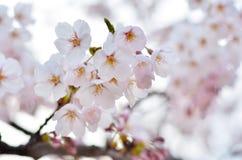 美妙地开花的樱桃 库存图片