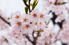 美妙地开花的樱桃 免版税库存照片