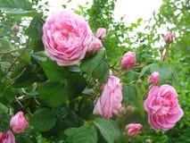 美妙地开花的玫瑰 免版税库存图片