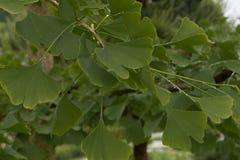 美妙地有浅dof的被日光照射了银杏树叶子 室外银杏树biloba叶子,特写镜头 免版税图库摄影