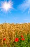 美妙域金黄鸦片红色的麦子 库存图片