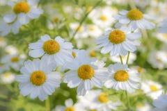 美妙的似梦幻般的雏菊草甸在阳光下 免版税图库摄影