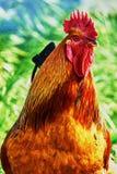 美妙的公鸡 免版税库存图片