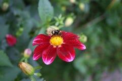 美妙的土蜂坐明亮的花 库存照片