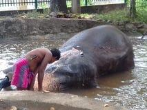 美妙的大象在斯里兰卡 免版税库存图片