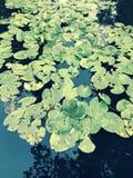 美妙的套睡莲叶在布哈-布哈-乌克兰 库存照片