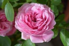 美妙的开花桃红色上升了 免版税库存照片