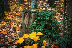 美妙的树桩 库存图片