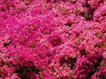 美妙的桃红色开花的杜娟花花 库存图片