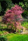 美妙的桃红色树 库存图片