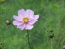 美妙的桃红色波斯菊花,花,开花草甸 免版税图库摄影