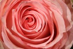 美妙的桃红色罗斯细节  库存照片