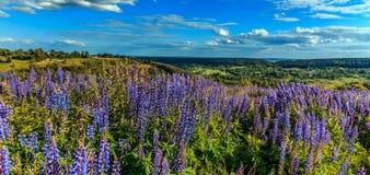 美妙的横向 与云彩在草甸有花羽扇豆的和五颜六色的云彩的理想的天空在天空 免版税库存图片