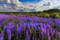 美妙的横向 与云彩的理想的天空在有紫色凶猛花的草甸在一个晴天 免版税图库摄影