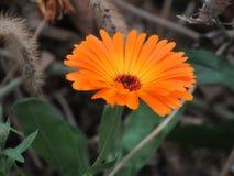 美妙的橙色万寿菊花,开花,花 免版税库存照片