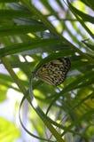 美妙的看看在叶子的一只树若虫蝴蝶 免版税库存照片