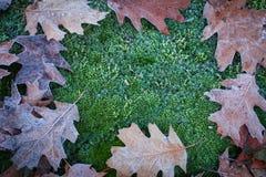 美妙的秋天用白色霜盖的橡木叶子和青苔 免版税库存照片