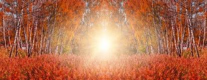 美妙的秋天背景 红色草和桦树与发光在阳光下的五颜六色的叶子 库存照片