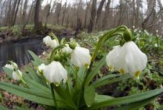 美妙的第一朵春天花 免版税库存图片