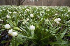 美妙的第一朵春天花 库存图片