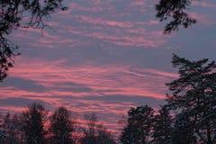 美妙的美好的桃红色郊区日落在冬天在森林和针叶树里在雪 免版税库存图片