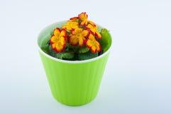 美妙的花报春花在白色的绿色塑料罐增长 免版税库存图片